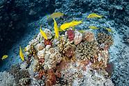 Gold-saddle goatfish (Parupeneus cyclostomus)