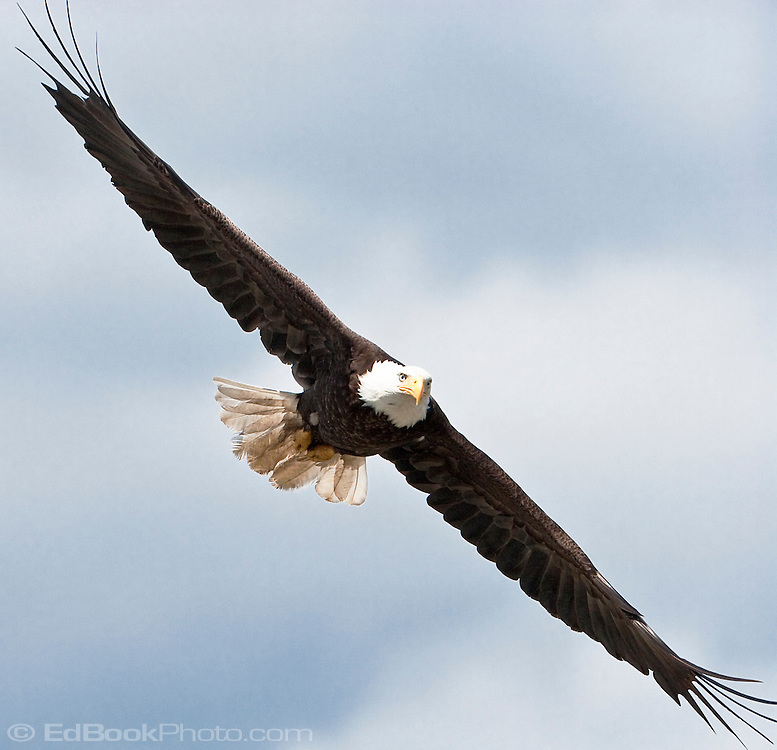 A Bald Eagle (Haliaeetus leucocephalus) spreads its wings while soaring over the Hood Canal, Puget Sound, Washington state, USA.