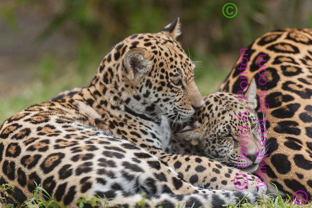 Jaguar cubs rest next to their mother, © David A. Ponton, USA