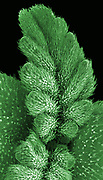 A cannabis seedling showing the first set of true leaves. Imaged with a scanning electron microscope (SEM). False color has been applied. The marijuana plant produces tetrahydrocannabinol (THC), the active component of cannabis when used as a drug. The filed of view in this image is 4 mm wide.
