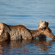 Gray wolf, member of the Haden Valley pack chases down a cow elk in to the waters of Alum Creek. Yellowstone National Park, Wyoming