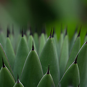 Close up flower photography of an agave plant. Photo by Adel B. Korkor.