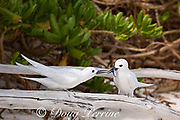 white tern or fairy tern, Gygis alba rothschildi, with a juvenile flying fish it has just received from its mate, Sand Island, Midway, Atoll, Midway Atoll National Wildlife Refuge, Papahanaumokuakea Marine National Monument, Northwest Hawaiian Islands, USA ( Central North Pacific Ocean )