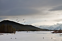 """Four Grizzly Bears, 610 and he cubs at Oxbow Bend inGrand Teton National Park. The Grand Tetons in the distance and pelicans flying overhead, what move could a photographer want.<br /> <br /> For production prints or stock photos click the Purchase Print/License Photo Button in upper Right; for Fine Art """"Custom Prints"""" contact Daryl - 208-709-3250 or dh@greater-yellowstone.com"""