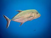 Bigeye jack fish