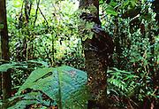 Giant Boney-headed Treefrog (Osteocephalus taurinus) in tree - Amazonia, Peru.