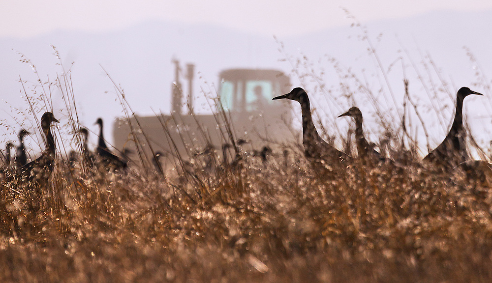 Sandhill cranes feed on the remnants of last season's crop as a farmer plows his field. All too often we hear how humans are wiping out habitat and causing the demise of wildlife in myriad other ways. This photograph demonstrates something all too rare – human activity actually helping rather than hindering the survival of a species.