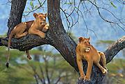 Lions hanging out in an acacia tree,  Serengeti National Park, Tanzania.