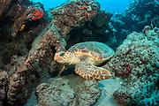 A Loggerhead Sea Turtle, Caretta caretta, swims offshore Palm Beach, Florida, United States.