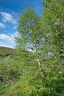 Downy Birch Betula pubescens Betulaceae Height to 25m<br /> Elegant tree. Bark Reddish in young trees; thick and grey with age, does not break into rectangular plates at base. Branches Denser and more untidy than Silver Birch, mostly erect, never pendulous. Twigs with downy white hairs in spring. Leaves Rounded at base, evenly toothed; hairy petiole. Reproductive parts Catkins similar to Silver Birch but seeds have smaller wings. Status Commonest in west and north.