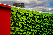 A fence protecting the Kings Cross development is painted with ivy leaves as an illusion of nature in London, United Kingdom.