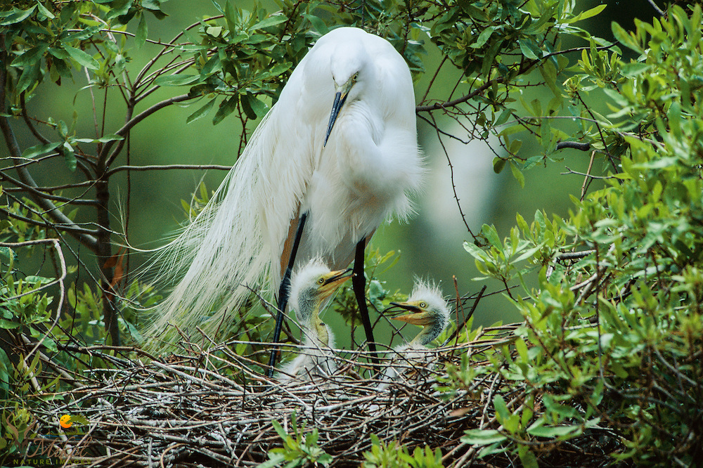 Great egret on nest with 2 chicks