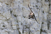 Peregrine (Falco peregrinus) in flight with predated pigeon. Sussex, UK.