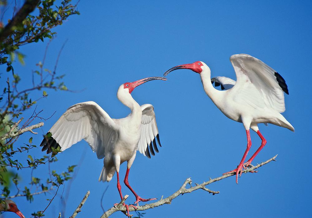 White Ibis Sparring