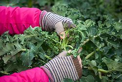 Harvesting purple sprouting broccoli - Brassica oleracea
