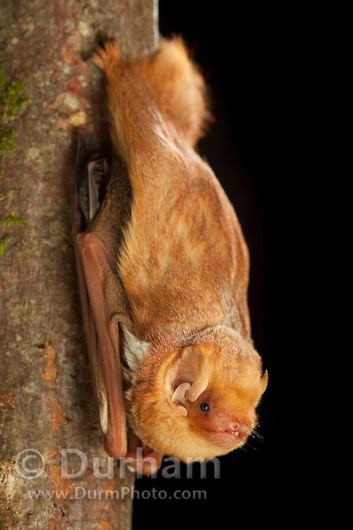Male eastern red bat (Lasiurus borealis), Photographed near the Conasauga River in the Chattahoochee-Oconee Natonal Forest, Georgia.
