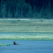 Elk, (Cervus elaphus) calf in swollen river is swept near land and he tries to pull himself to safety.