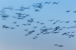 Abstract of snow geese in flight, Bosque del Apache, National Wildlife Refuge, New Mexico, USA.