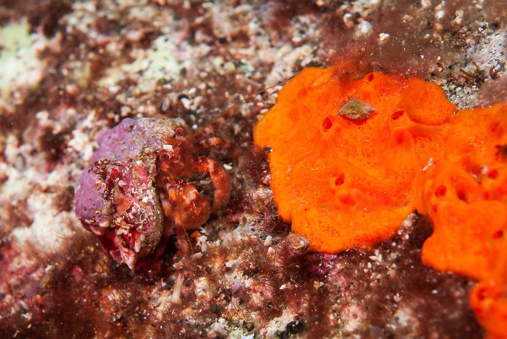 Kermadecs Marine Reserve, Hermit Crab, unknown