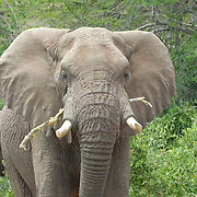 Huge angry african male elephant blocking the road.