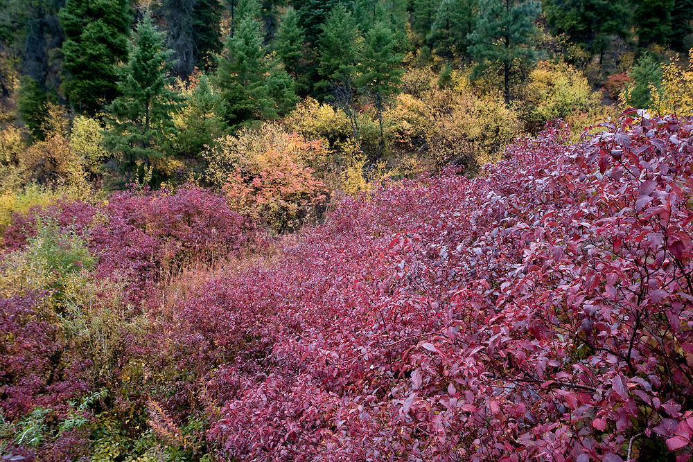 Red huckleberry plants fill the foreground near Stanley Lake in the Sawtooth NRA, Idaho.
