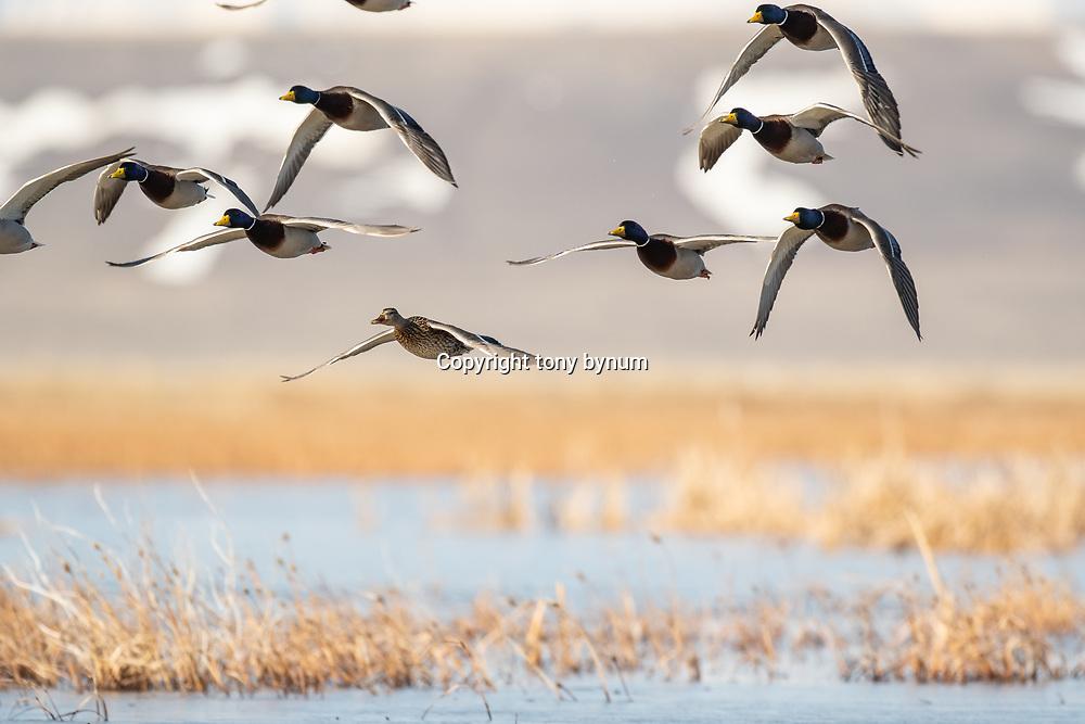 mallard ducks over prairie potholes, courtship flight, montana