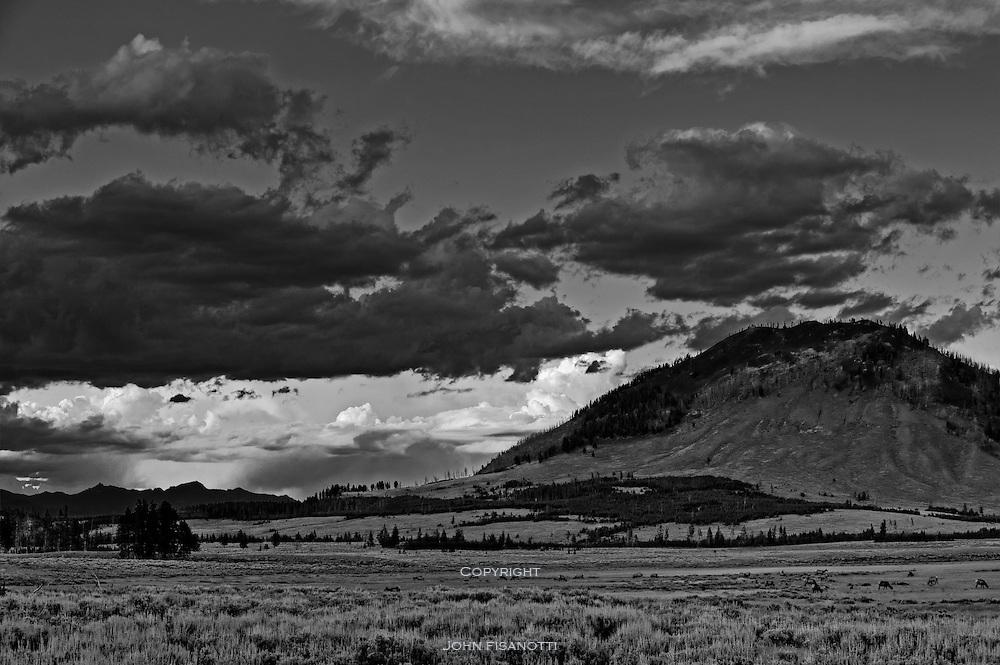 Elk heard at sunset grazes in Yellowstone National Park