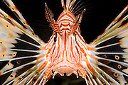 Israel, Eilat, Red Sea, - Underwater photograph of a radial Lionfish Pterois radiata close up of the head and face