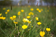 Wild flowers, Buttercups, and grasses in Springtime near to Otford in Surrey, UK.