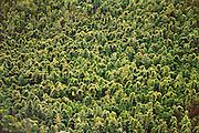 Chinese bamboo overtaking native forest near Hana at Kipahulu, Maui, Hawaii. USA.