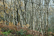 Silver birches - Betula pendula - deciduous trees in Somerset, UK
