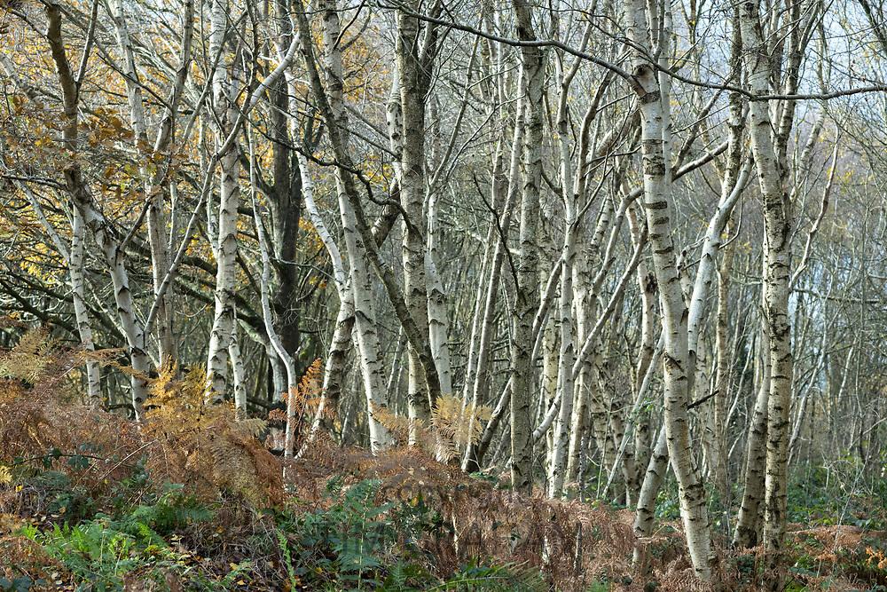 Silver birches - Betula pendula - deciduous trees in Somerset, UK