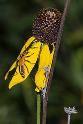 Goldenrod Soldier Beetle (Chauliognathus pensylvanicus) climbs across a bright yellow prairie coneflower