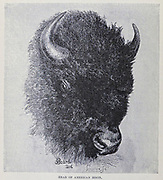 Head of American bison The American bison or simply bison (Bison bison), also commonly known as the American buffalo or simply buffalo, is an American species of bison that once roamed North America in vast herds. From the book ' Royal Natural History ' Volume 2 Edited by Richard Lydekker, Published in London by Frederick Warne & Co in 1893-1894