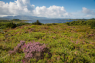Gorse, heather, and puffy clouds, Kenmare Bay, County Kerry, Ireland