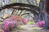 Magnolia Plantaion with azaleas in bloom, Charleston, South Carolina USA