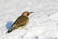 01193-01609 Northern Flicker (Colaptes auratus) male feeding on ground in winter, Marion Co., IL