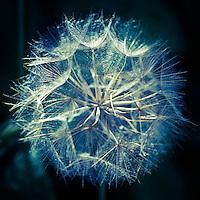 Blue seeds on black