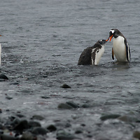 A Gentoo penguin parent (Pygoscelis papua) introduces its chicks to the ocean on a rainy beach on Aitcho Island, Antarctica.