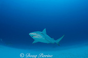 bull shark, Carcharhinus leucas, female in seasonal breeding aggregation with remora or sharksucker, Echeneis naucrates, Playa del Carmen, Cancun, Quintana Roo, Yucatan Peninsula, Mexico ( Caribbean Sea )