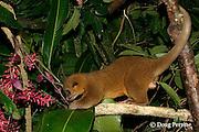 kinkajou or night walker, Potos flavus (captive), Jaguar Paw Jungle Resort, Cayo District, Belize, Central America