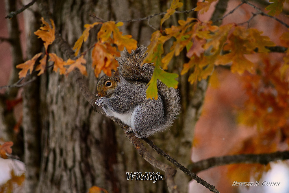 An Eastern Gray Squirrel sits perched on a tree branch while eating a kernel of corn during the evening.