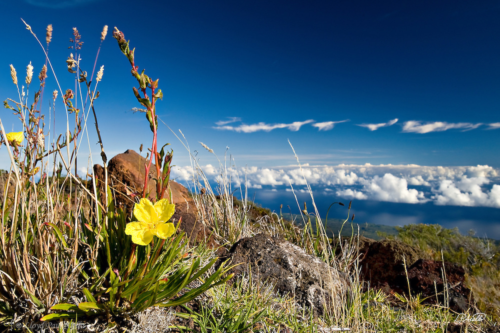 """An Evening Primrose (Oenothera stricta) blooms near the summit of Mount Haleakalā volcano on Maui, Hawaii. Also called the East Maui Volcano, it is a massive 3,055 m (10,023 ft) high shield volcano that forms more than 75% of the Hawaiian Island of Maui and last erupted in the 17th century. <br /> <br /> Haleakalā means """"House of the Sun"""" and its tallest point is Puʻu ʻUlaʻula (Red Hill). The crater depression is over 11.2 km (7 mi) across, 3.2 km (2 mi) wide, and nearly 800 m (2,600 ft) deep. <br /> <br /> In Hawaiian folklore, the Haleakalā crater was home to the grandmother of the demigod Māui.  According to the legend, Māui's grandmother helped him capture the sun and force it to slow its journey across the sky in order to lengthen the day."""