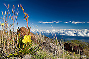 "An Evening Primrose (Oenothera stricta) blooms near the summit of Mount Haleakalā volcano on Maui, Hawaii. Also called the East Maui Volcano, it is a massive 3,055 m (10,023 ft) high shield volcano that forms more than 75% of the Hawaiian Island of Maui and last erupted in the 17th century. <br /> <br /> Haleakalā means ""House of the Sun"" and its tallest point is Puʻu ʻUlaʻula (Red Hill). The crater depression is over 11.2 km (7 mi) across, 3.2 km (2 mi) wide, and nearly 800 m (2,600 ft) deep. <br /> <br /> In Hawaiian folklore, the Haleakalā crater was home to the grandmother of the demigod Māui.  According to the legend, Māui's grandmother helped him capture the sun and force it to slow its journey across the sky in order to lengthen the day."