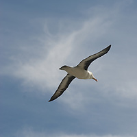 A Black Browed Albatross flies over a rookery on New Island, in Britain's Falkland Islands.