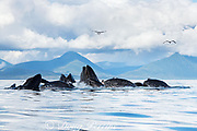humpback whales, Megaptera novaeangliae, bubble net feeding on herring, with sea gulls hoping to snatch fish; baleen can be seen in the open mouths of several of the whales; Kupreanof Island, Frederick Sound, Inside Passage, southeastern Alaska, USA