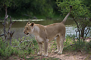 Lioness (Panthera leo)<br />