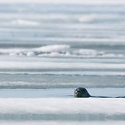 Ringed Seal in an elu Inlet. Nunavut, Canada