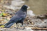 American Crow peers over its shoulder