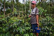 A villager picking coffee from his small coffee farm, Tapanuli, Batang Toru Ecosystem, Sumatra, Indonesia